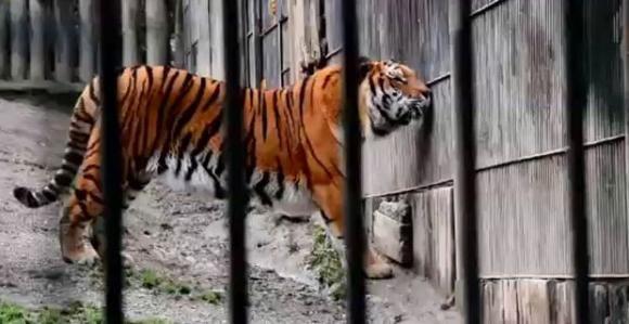 Anziano muore sbranato da tre tigri