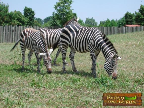 Fiocco a strisce: nasce una zebra a Pozzonovo