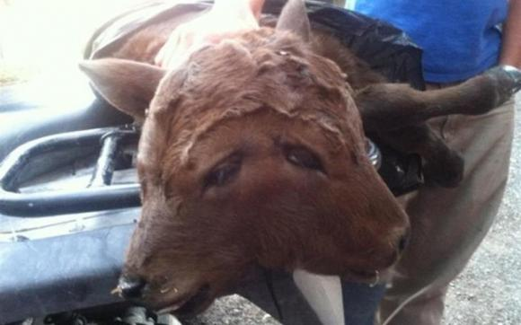 Stati Uniti: è nata una mucca con due teste