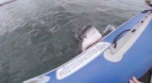 Squalo bianco attacca il gommone di una troupe, la barca inizia ad affondare (video)