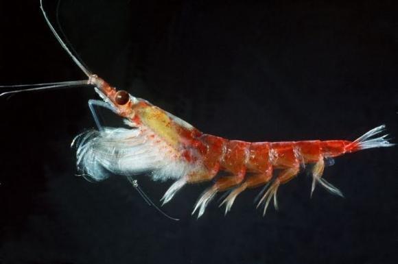 Olio di krill: benefici ed effetti indesiderati