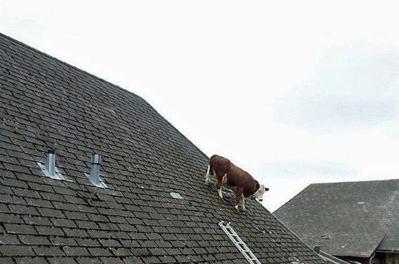 Berna, una mucca passeggia senza paura sui tetti