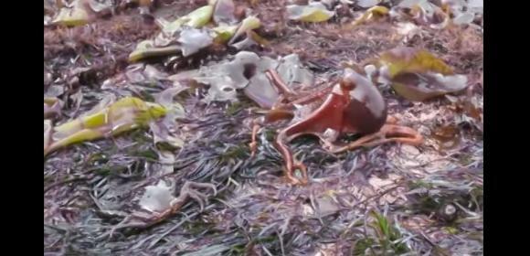 Polpo esce dall'acqua e lascia un granchio ai piedi di increduli spettatori