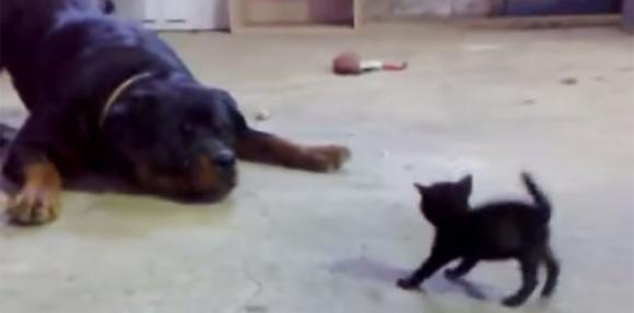 Un gattino coraggioso affronta un enorme Rottweiler. Il video sta facendo impazzire il web