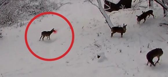 Telecamera nascosta riprende un gruppo di cervi intenti a giocare sulla neve come bambini
