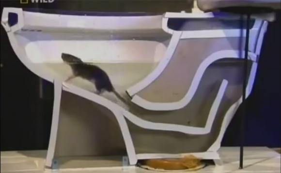 Ratti che risalgono dal vostro water? Non è una leggenda
