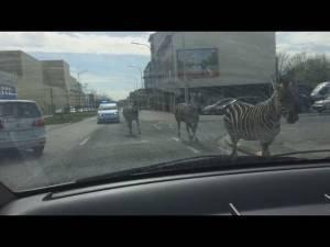 Bruxelles: zebre allo sbaraglio vs polizia nel VIDEO girato per le strade della città