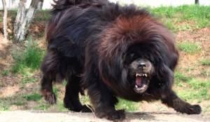Ecco i cani da guardia più grandi al mondo