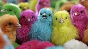 Per i pulcini colorati la Pasqua è diventata un incubo