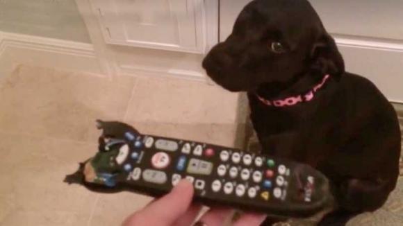 Mostra al cane il telecomando che ha masticato. Ecco la sua reazione!