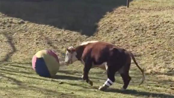Una mucca vaga da sola nei campi. Ecco chi arriva a fargli compagnia
