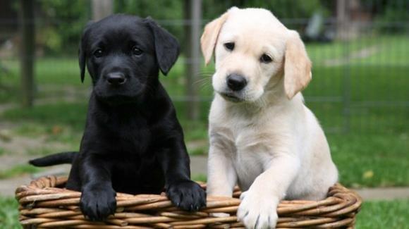 Le malattie più comuni del Labrador Retriever