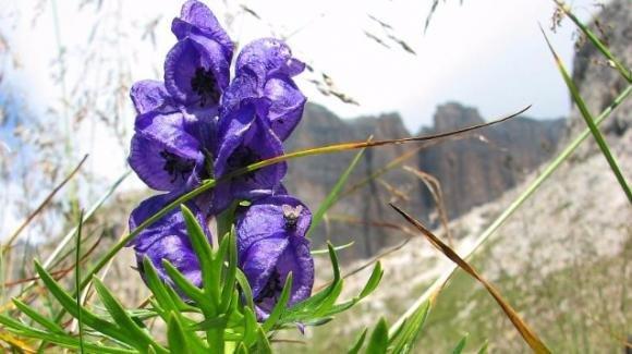Fiori Velenosi.L Aconito Napello E Il Fiore Piu Velenoso Della Flora Italiana