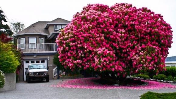 """Un """"albero"""" di rododendro diventa l'attrazione principale della città"""