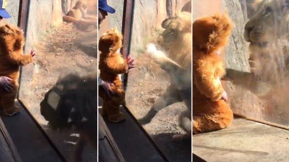 Portano un bimbo allo zoo vestito da cucciolo di leone. Il felino si comporta come se fosse uno di loro