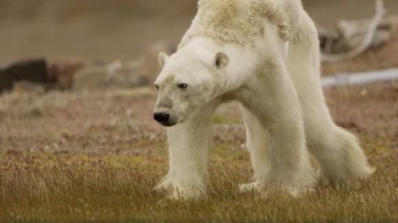 La straziante agonia dell'orso polare invita alla riflessione