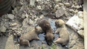 Trovano tre cuccioli di cane in una pozza di catrame. Ecco il momento del loro salvataggio
