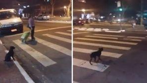 Questo cane è davvero intelligente: aspetta il verde al semaforo prima di attraversare