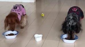I cani stavano mangiando quando arriva il pappagallino. Quello che accade è esilarante!