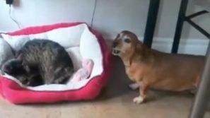 Il cane trova il gatto nella sua cuccia. La sua reazione vi farà ridere di gusto!