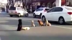 """Un cane viene investito da un'auto: i suoi """"amici"""" vegliano sul suo corpo sull'asfalto"""