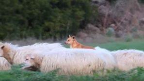 Deve fare la guardia alle pecore: la tecnica di questo cane è davvero esilarante!