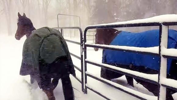 Fa uscire i suoi cavalli dalla stalla mentre nevica. La reazione dei due animali è esilarante!