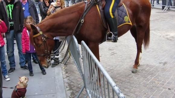 Un piccolo bulldog francese si avvicina al cavallo della polizia: la loro interazione è tenerissima!