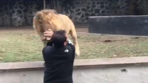 Il leone scappa dalla gabbia e corre verso l'addestratore: quello che accade è del tutto inaspettato!