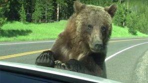 Parco di Yellowstone: un orso attacca l'auto dei turisti. Quello che accade lascia tutti basiti!
