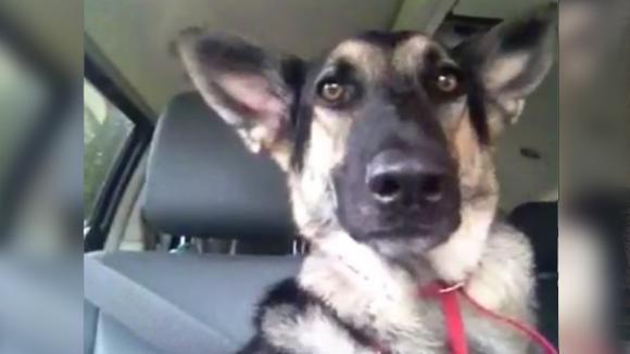 """Alla radio c'è la sua canzone preferita: la """"danza"""" di questo cane sta conquistando proprio tutti!"""
