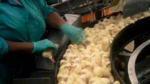 Pulcini tritati vivi e schiacciati: ecco dove nascono i futuri polli da carne