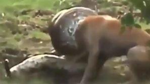 Il boa avvolge la testa del cane: il cucciolo lotta per liberarsi dalla morsa del rettile