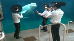 La band Mariachi suona in un acquario: la reazione della balena bianca è del tutto inaspettata