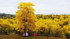 La foresta che si tinge di giallo: uno spettacolo della natura ai confini del Perù