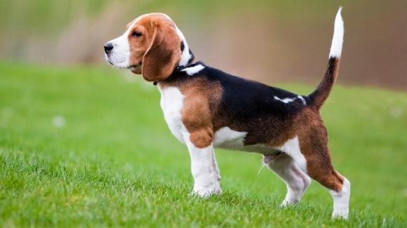 Beagle non vuole cacciare, il padrone vuole ucciderlo
