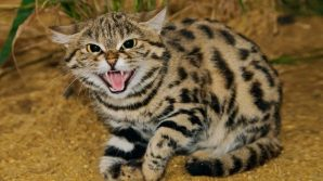 Il felino più letale della Terra ha l'aspetto di un piccolo gatto
