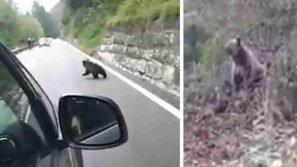 Cucciolo d'orso blocca la statale che porta al Tonale: la sua mamma lo aspetta nascosta tra gli alberi