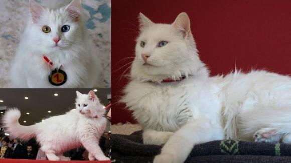Turchia: Spak vince il titolo di gatto più bello del mondo