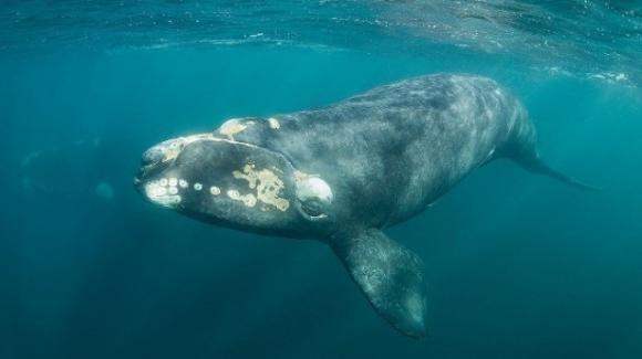 Resta poco tempo per fermare l'imminente estinzione della balena franca del Nord Atlantico: muore per mano dell'uomo