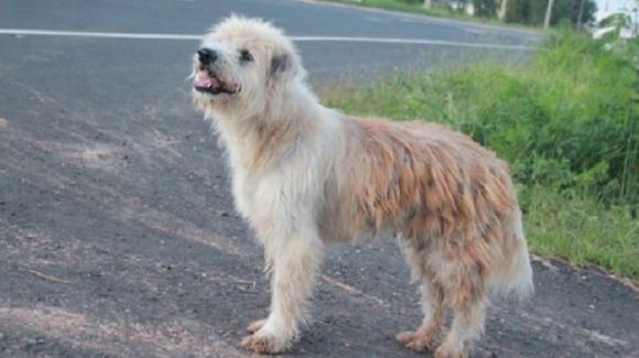 Thailandia, sul ciglio della strada il cane Leo attende i padroni per 4 anni