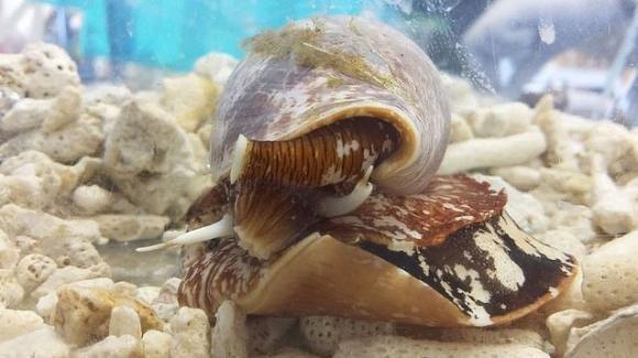 Lumaca di mare, il suo veleno per sconfiggere il dolore