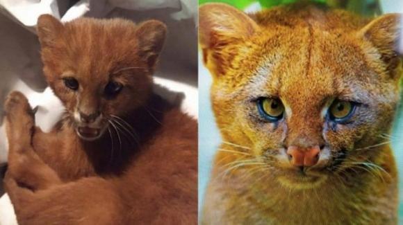 Argentina, salvano gatto dalla strada ma scoprono che è un puma