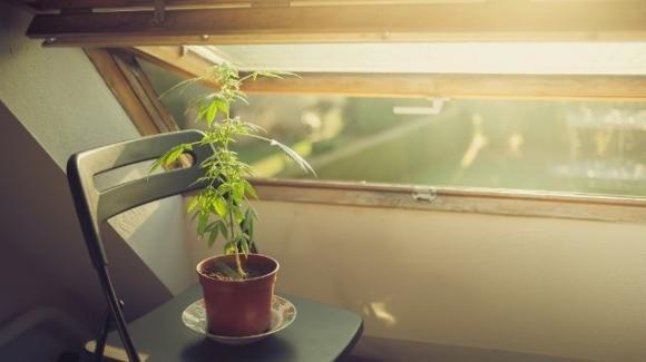Coltivare la cannabis in casa non è più reato: c'è la sentenza ma manca la legge