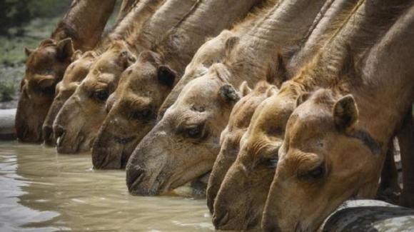 Australia, 10.000 cammelli verranno uccisi perchè bevono troppa acqua potabile