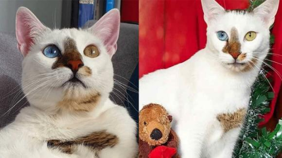 Bowie, il gatto con gli occhi diversi che ricorda il cantante