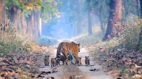 L'emozione in una foto: la tigre a passeggio con i suoi cuccioli