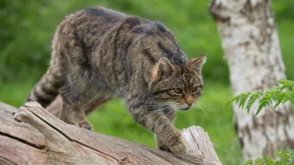 """Il gatto selvatico: il felino """"invisibile"""" che abita le nostre foreste"""