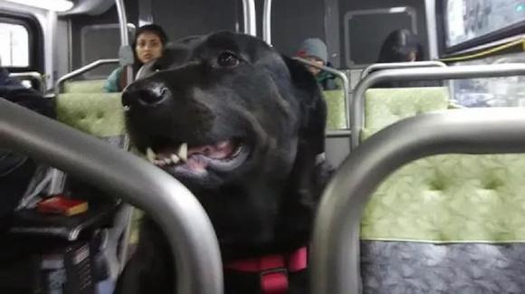 Seattle: cane munito di biglietto prende il bus tutti i giorni per andare al parco