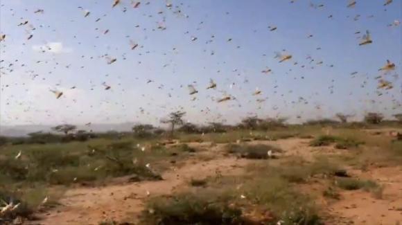 Allarme locuste in Arabia Saudita: invasione in atto